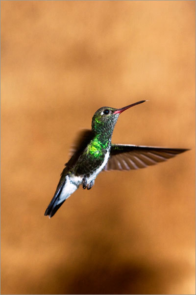 The Chapada is home to 23 species of hummingbird.