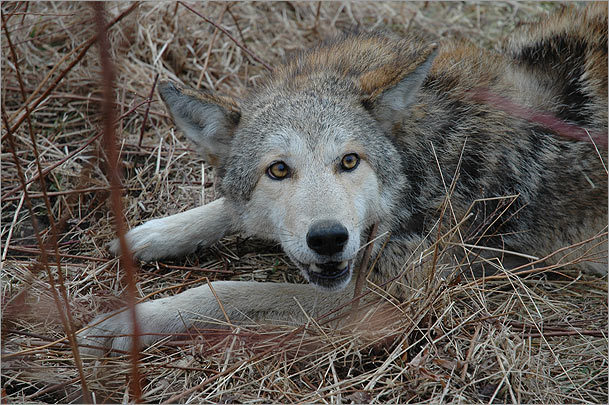 How we can coexist peacefully with coyotes