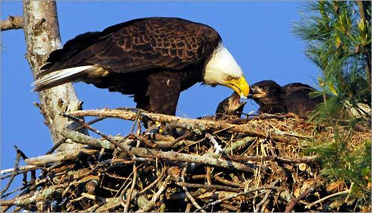 An eagle feeds tidbits of fish to its hungry chicks, who are just over a month old, in their nest in West Newbury.