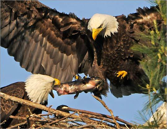 A male eagle delivers a bullhead to his mate and offspring in their nest in West Newbury.
