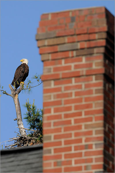 Within view of a suburban house, an eagle keeps watch over its own West Newbury home.