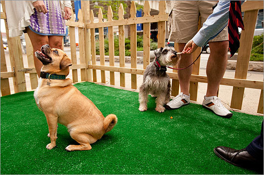 Brodie (foreground), a puggle, waits expectantly for a treat while Winston takes a handout. Despite Brodie's best efforts, no treats were forthcoming. 'He is still trying to get rid of his winter weight,' said Brodie's dog sitter, who had him on treat restriction.