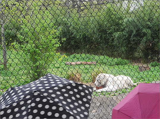 'We were a little worried about the weather, but almost 1,200 girls are here today in spite of the rain,' said Ruth Bramson, CEO of Girl Scouts of Eastern Massachusetts. Umbrellas were opened and closed all morning at the zoo as the rain came and went.
