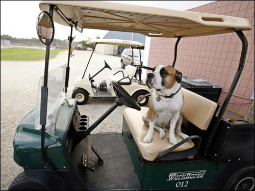 'Bruiser,' a five-year-old Old English Bulldog belonging to Red Sox minor league equipment manager Mike Stelmach, sat in a cart on Friday.