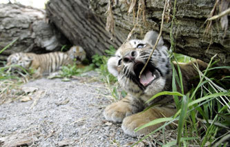 Siberian tiger cubs, now 2 months old, played in the open during their first public appearance with their mother, Rada, in a zoo in Almaty, Kazakhstan. Zookeepers named the three cubs Gaukhar, Zeya, and Amur.