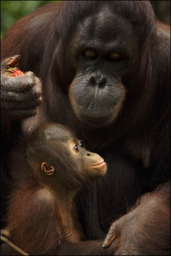 Bento, a 14-month-old Bornean orangutan (Pongo pygmaeus), sat with his mother, Binte, during an afternoon feeding session at the Singapore Zoo.