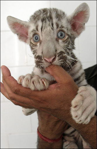 Gullu, a 2-month-old white tiger cub, sucked the thumb of its attendant at Chhatbir Zoo, in the northern Indian state of Punjab. Gullu was rejected by its mother, Shanti, at birth but has started taking liquids, the attendant said.