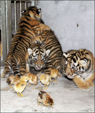 Tiger cubs played with chicks at a zoo in Wenling, China. The chicks, which were not harmed by the cubs, were feeding at a nearby river before entering the tigers' cage. It is the first time zoo staff have witnessed such an occurrence, China Daily reported.
