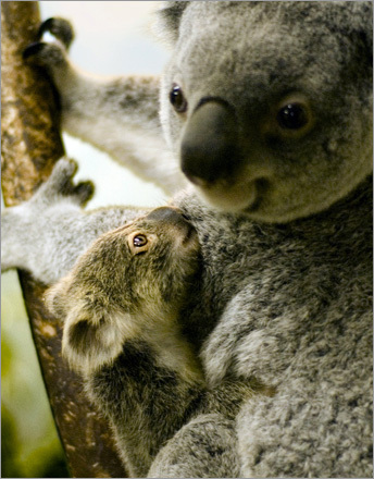 A baby koala is seen with its mother at the Aquarium Zoo Park in Madrid.