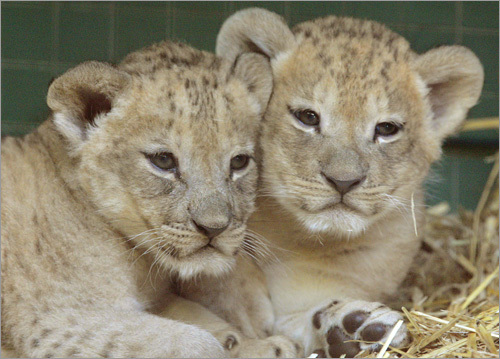 Two baby lions play in their enclosure in the Berlin zoo.