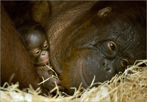 Anak, a 31-year-old orangutan, holds her 5-day-old baby, Apie, in her arms. The baby was born in captivity at Ouwehands Zoo in Rhenen, Netherlands.
