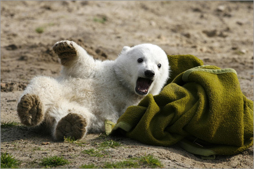 Polar bear cub Knut plays with a blanket during the bear's first presentation in Berlin zoo. Knut had to be hand-fed every four hours by the zookeepers after its mother, Tosca, refused the baby.