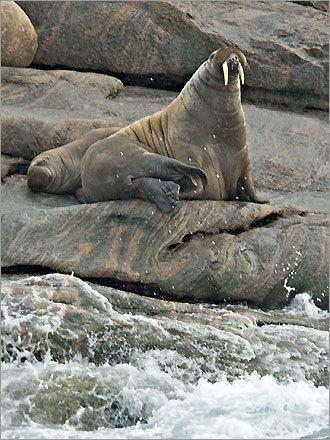 Walruses on the rocks near Monumental Island in Nunavut.