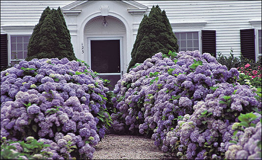 Boston.com / Your Life / House & Home / Four hydrangeas give hope ...