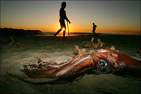 A beachgoer passed by a jumbo squid that washed ashore on Newport Beach, Calif., on Wednesday.