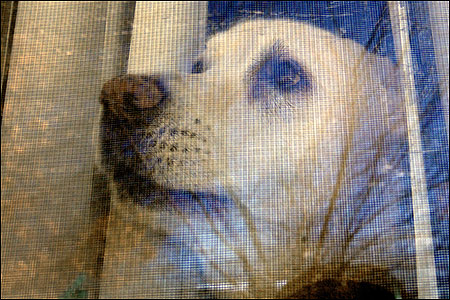 Rocco kept a tight lip as he peered from a window at his owner's home in Clinton yesterday. The lab has been given a reprieve from losing his vocal cords.