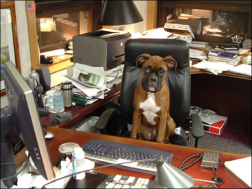 Burton, a Boxer, goes to work every day. He has been so swamped lately, he hasn't had time to clean his office.
