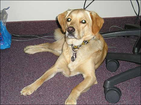 Every day is 'Take Your Dog to Work Day' for Gracie (a Labrador mix) who accompanies her mom to work at the 128 Business Council in Weston.