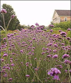 Verbena bonariensis , a popular perennial, is among the flowering plants grown at Canterbury.
