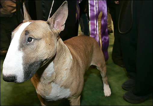 The two-day Westminster Dog Show at Madison Square Garden wrapped up last night. The winner of Best in Show was Rufus, a colored bull terrier. The egg-headed pooch won on the strength of his most prominent feature: his noggin.