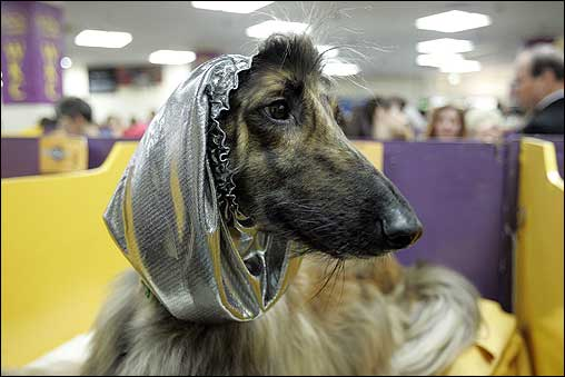 An Afghan hound wore a silver hood while waiting backstage during the show.