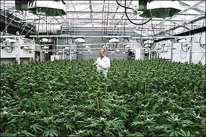 A greenhouse in the Netherlands, where the cannabis grown for medicinal use is far more potent than that grown legally in the US.