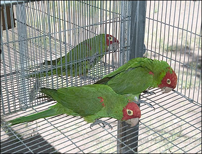 The three cherry-headed conures are famous movie stars.