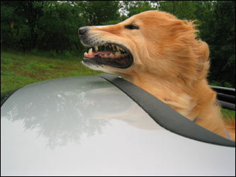 Trails in Vermont, Rhode Island beaches, boats off the Cape--these dogs really live the life! See fabulous photos from readers of their dogs on vacation. Meet Parker, who's taking full advantage of the sun roof.