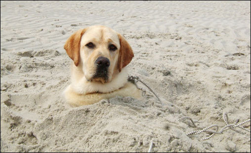 Cooper, a three year old Yellow Lab, has a fun day digging holes on Sandy Neck beach in Barnstable, Mass. (Cape Cod). Owner Suzanne White buried him!