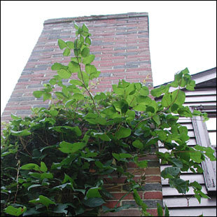 New England is infamous for poison ivy growth, as the plant will grow just about anywhere. The three-leafed weed can snake up apartment buildings (pictured) and along the edges of parks. Birds that eat the seeds of the plant primarily dictate the growing pattern of poison ivy. Commonly, crows and bluebirds will sit on telephone wires overlooking roadsides and then drop the seeds, leading to growth along the roads. The nature of the plant isn't to grow in the deep woods as it needs adequate sunlight to spread. It's for this reason that poison ivy is usually found on trails and roadsides across North America.