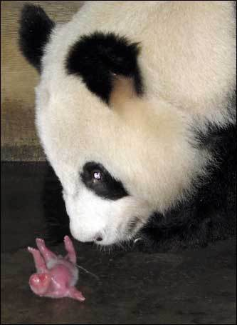 A female giant panda looks at her baby at the Chengdu Giant Panda Breeding Center in Sichuan province, southwest China. Four pandas were born in captivity in China on the same day, a rare occurrence after 34 were born in all of last year. Experts estimate that there are only about 1,600 pandas living in the wild and some 160 in captivity around the world.