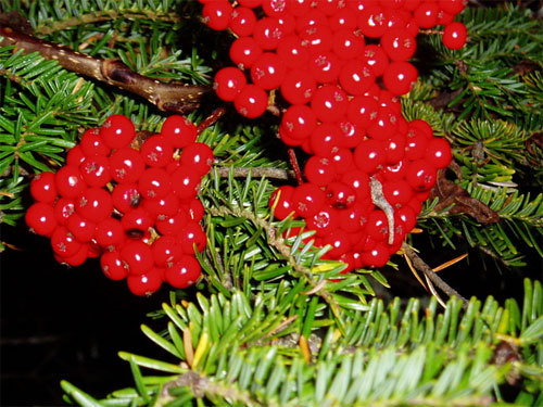 Berries on a pine tree.