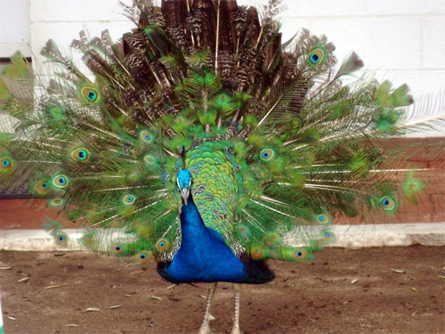 A peacock in Southern California.
