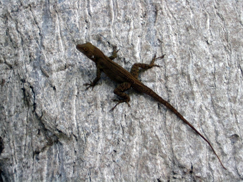 obligatory lizard (lagartija) photo - chilling on the side of the wicked old tree
