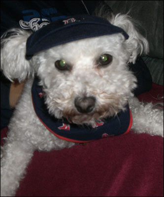 Sandy Weiss of Foxboro showed us how her Sophie ,a 7-year-old Bichon Frise, was all decked out in team gear for the Series clincher.