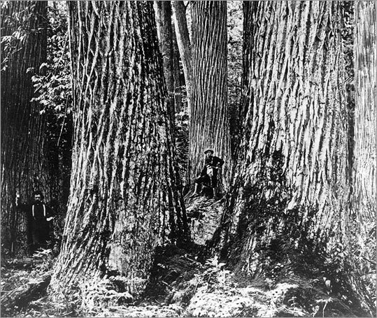 The debate over transgenic trees has been simmering among devotees of the once-mighty American chestnut.