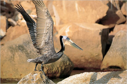 A brown pelican in Baja. STORY Sampling Baja PLAN Latin America travel guide