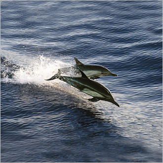 Common dolphins skim the surface in Baja. STORY Sampling Baja PLAN Latin America travel guide