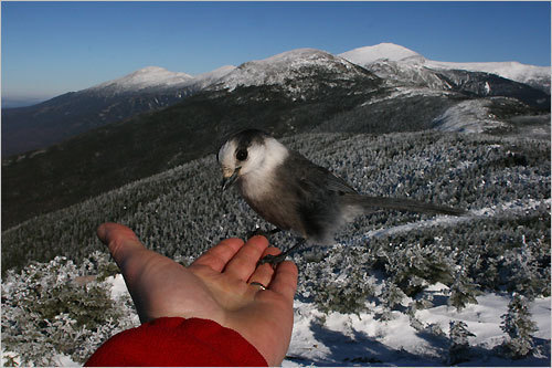 A gray jay rested on Patrick LaFreniere's hand as he took a picture of Mt. Washington from the summit of Mt. Pierce in New Hampshire.