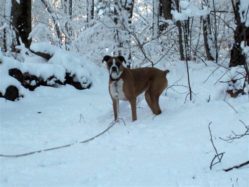 Anne Holohan sent in this photo of Emily the boxer last winter, who gets very frisky in the snow, but doesn't wait long before she howls at the back door get warm.