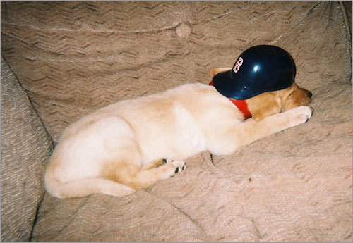 Splinter, a yellow lab, relaxes before the World Series in 2004. 'I got him the day of game four against the Yankees. Needless to say, the Sox went on to win the next 8 games in a row! What a great good curse buster.'