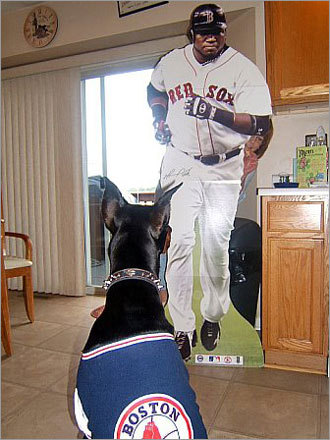Yaz the Doberman confronts a cardboard cut-out of the one and only Big Papi in his home in Cedar Lake, Ind.