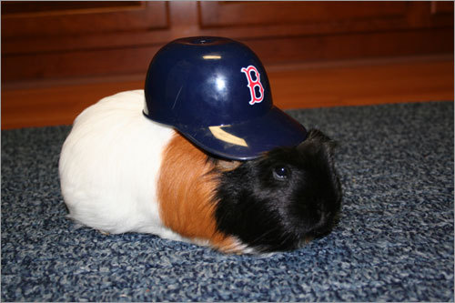 Red Sox Nation is growing! Here are your favorite pet fans - whether furry, feathered, or inside a shell. He may not be a dog, but Henry the Guinea Pig knows how to support the Sox. This picture was snapped in the Kitchen as Jenny dressed Henry up as a Red Sox player.