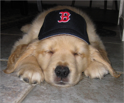 Cooper, a nine week old Golden Retriever sports an ERA size 4.25' Red Sox hat. 'My wife Carol is a die hard Yankee fan and vetoed the name Beckett. My son, Steven, daughter Kristen and I were able to have her agree to Jacoby if we agreed to call him Jake. Well suffice to say, he doesn't look like a Jake. So in an effort to covertly get a Red Sox player into the name, I dug deep into the Red Sox archives to dig up the only Red Sox representing the team on the 1993-1994 All Star team... Scott Cooper.'