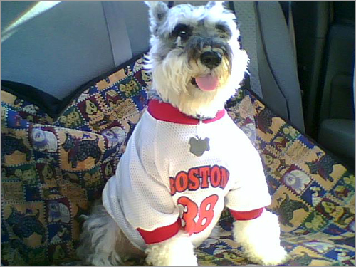 He may still be on the DL, but miniature Schnauzer Greta is still pulling for Curt Schilling.