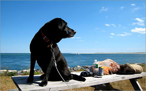 Keeping a lookout over the food, Gus, a black lab, sat on a picnic table in Chatham.