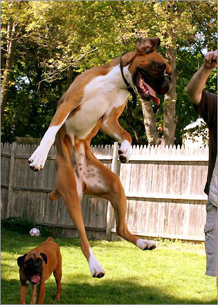 Yippee! Riley, a boxer, jumped for joy in his backyard.
