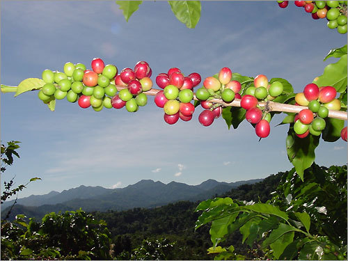 The Puerto Rican coffee industry boasts $50 million in annual sales, and tourists can experience the process in a number of haciendas on the island, which offer glimpses into the planting, harvesting, and roasting of coffee.