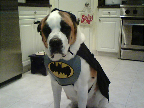 Evil-doers beware: Stella the Saint Bernard makes an excellent Batman.