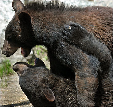Black Bears at Stone Zoo